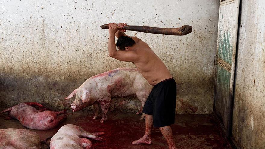 Un operario golpea a varios cerdos con un garrote para dejarlos inmóviles y facilitar la tarea de degüello. Arriaga (Chiapas), 2017.