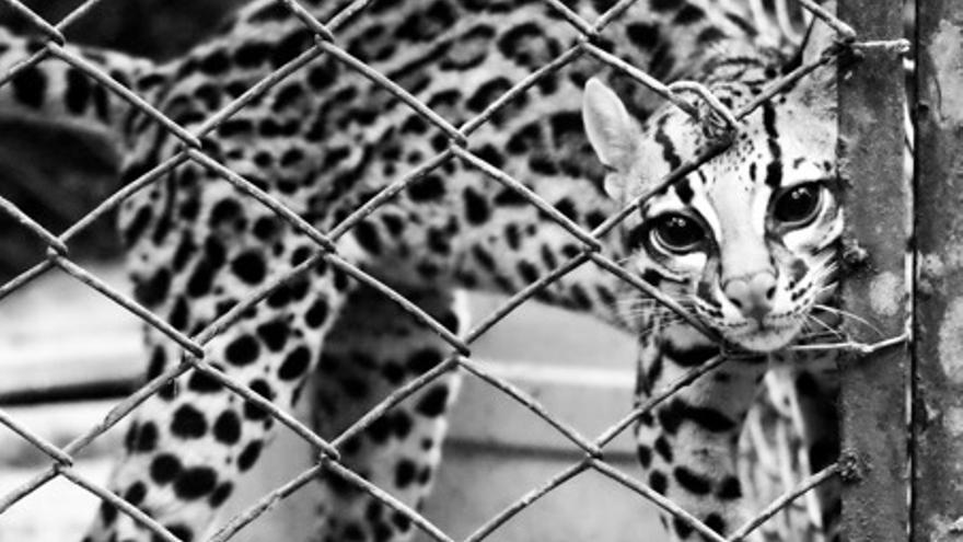 Tigrillo rescatado del tráfico ilegal de especies en Colombia