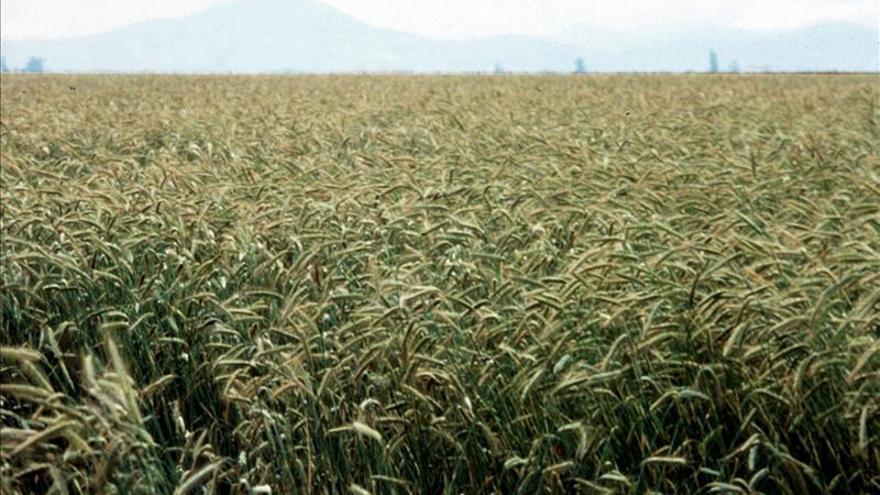 El cambio climático reduce el rendimiento del trigo en EE.UU., según un estudio