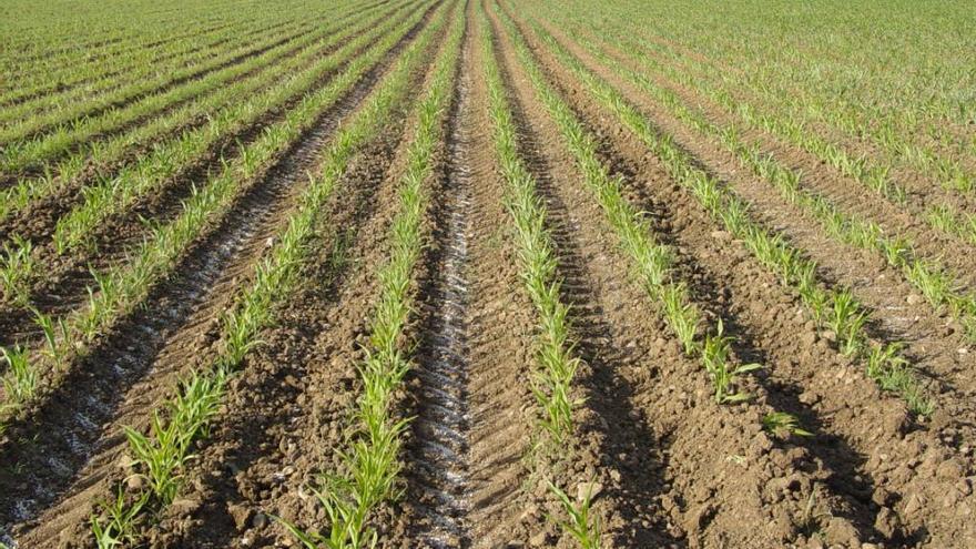 Una plantación de maíz.