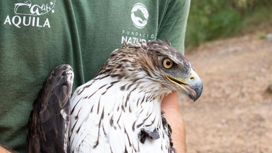 Foto cedida por GREFA de un águila de Bonelli capturada para su marcaje con GPS en Mallorca.