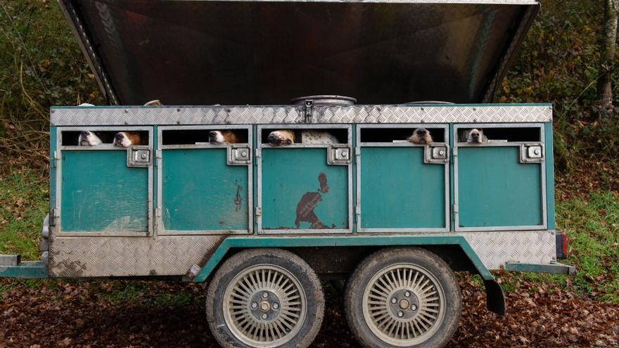 Perros utilizados para cazar zorros en Galicia.