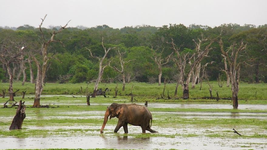El Parque Nacional Yala te regala escenas tan bonitas como la de este macho solitario atravesando una de sus lagunas.