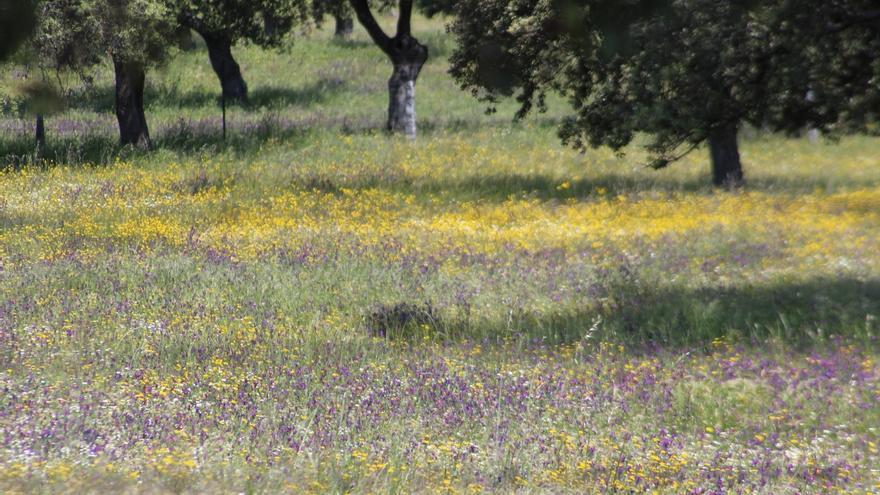 La Junta destina 10,6 millones de euros para la conservación y la mejora de los pastos en los sistemas de dehesas