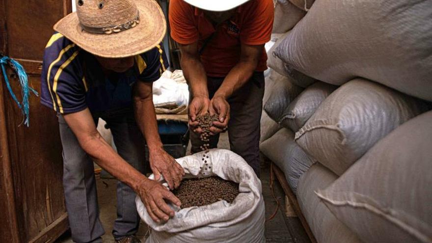 Ante crisis del maíz y café, productores de Chiapas cosechan pimienta gorda
