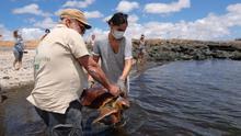 El Cabildo de Fuerteventura, junto a Cruz Roja y a la ONG AVANFUER, limpia la costa de la isla y suelta dos tortugas con motivo del Día de Mundial de los Océanos