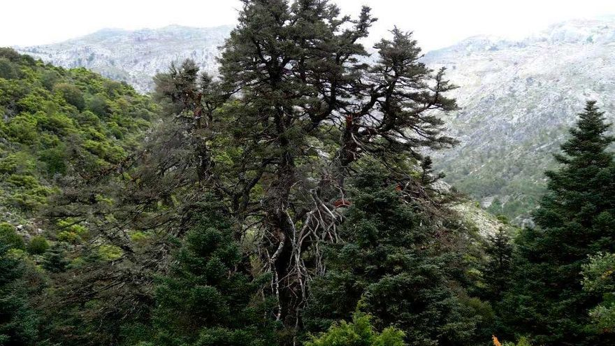 Monumento Natural Pinsapo de las Escaleretas.