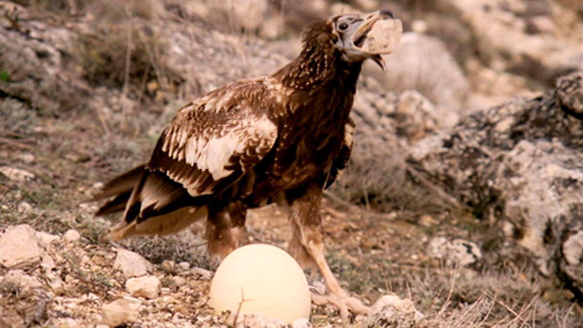 Un alimoche usa una piedra para romper un gran huevo, en 'El hombre y la Tierra   RTVE