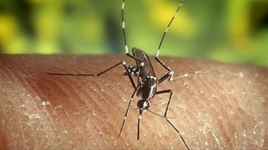 Mosquito Tigre.