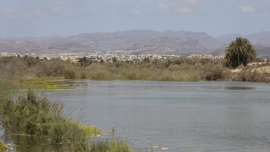 La Charca de Maspalomas recupera su esplendor con la entrada de 20.000 m3 de agua de mar y cientos de alevines