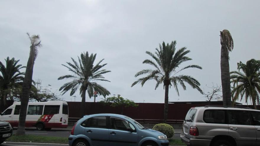 En la imagen, dos de las cuatro palmeras 'reinas' que se han secado en la Avenida de Los Indianos por falta de tierra. Foto: LUZ RODRÍGUEZ.