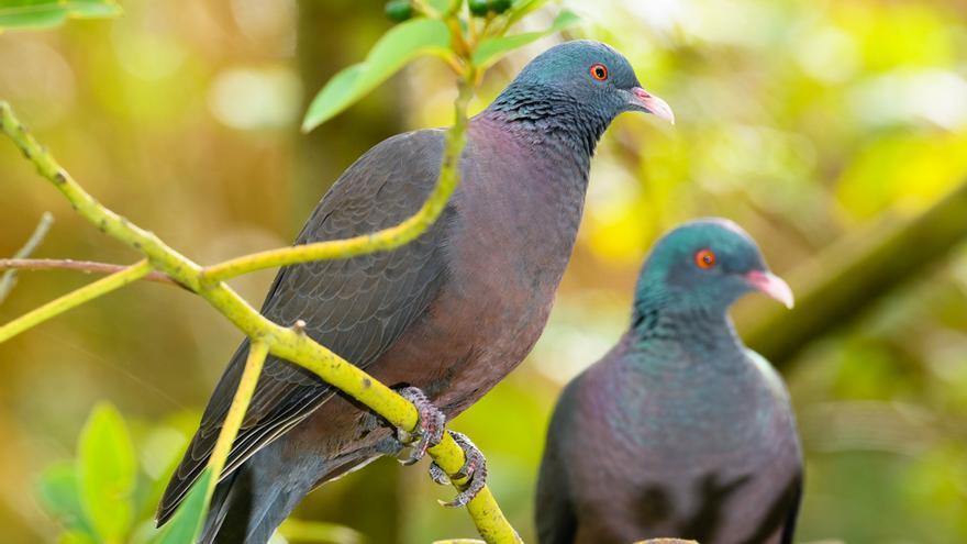 Imagen de dos palomas 'rabiche'.