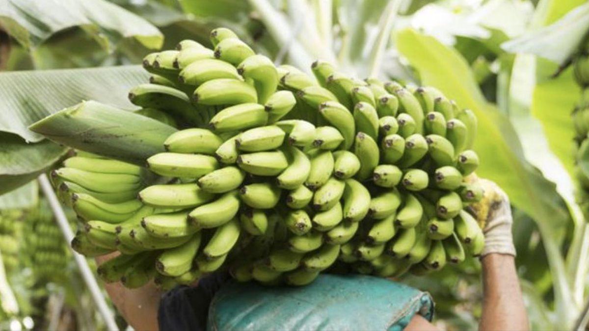 Recolecta de plátanos en un cultivo de Canarias