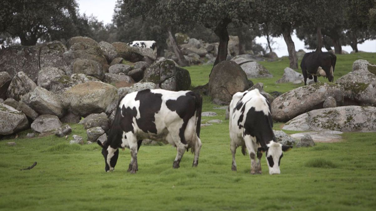 Vacas lecheras en la dehesa de Los Pedroches