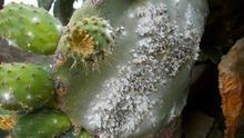 Satisfacción entre los productores de cochinilla ante la posibilidad de recibir ayudas del programa Posei