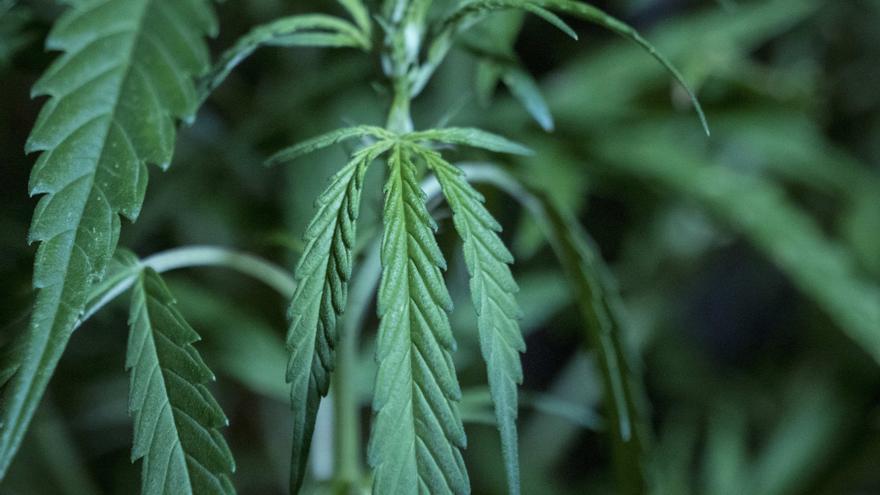 Las acciones de empresas de cannabis, en el punto de mira de Wall Street