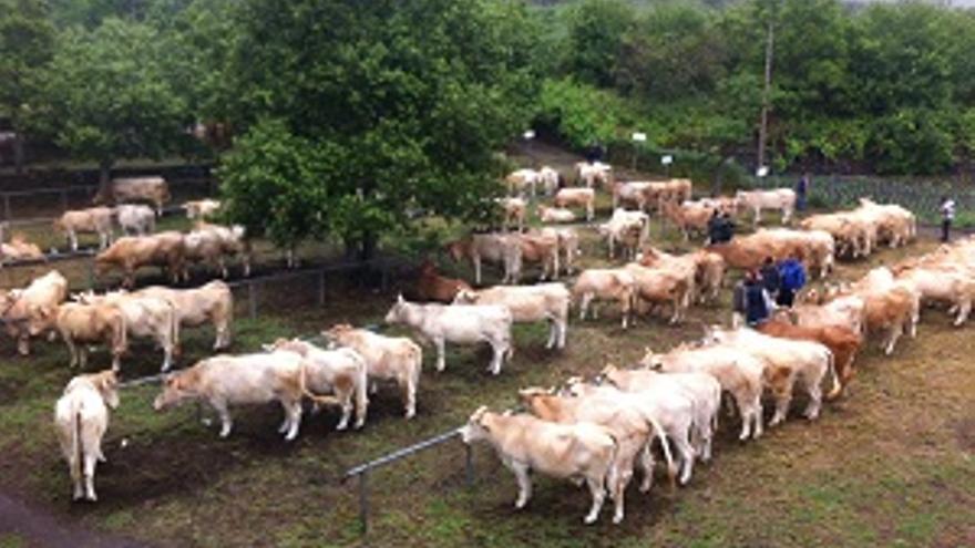 El ganado, este sábado, expuesto en el recinto ferial de San Isidro, Breña Alta.