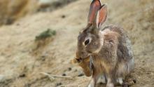 ¿Plaga de conejos? ¡Pues matemos al zorro!