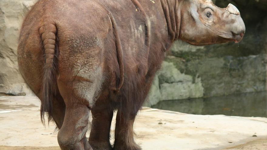 Un ejemplar de rinoceronte de Sumatra.