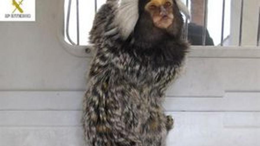 Abandona a un mono tití en la casa de una amiga