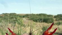 El sector del cangrejo rojo recurre al Constitucional la sentencia que prohíbe su venta
