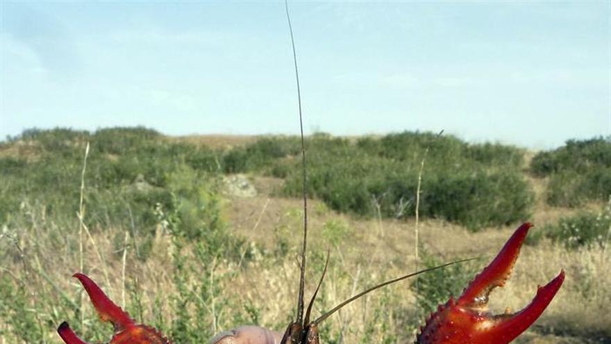El Supremo prohíbe la cría del visón americano y la venta de cangrejo rojo
