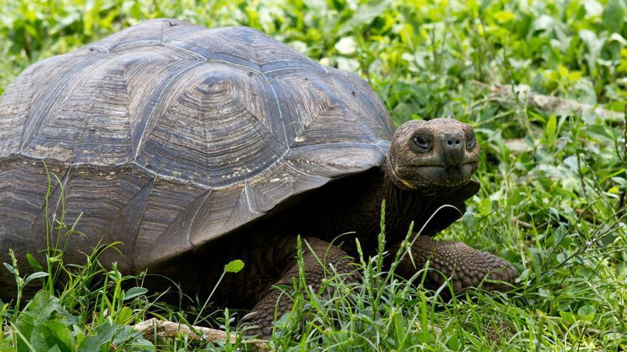 Tortuga gigante en el Corral del Asilo de la Paz (Isla Floreana).