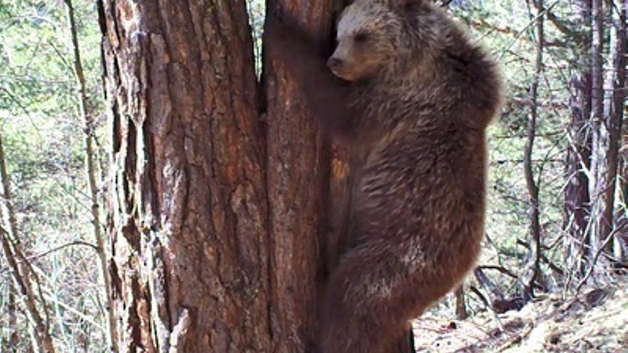 En 2018, en el Pirineo, había tres osos menos que en 2017