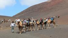 El Ayuntamiento de Yaiza promueve los paseos a camello en Timanfaya como Patrimonio de Interés Social y Cultural