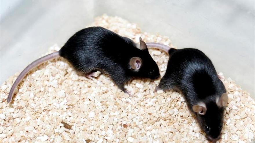 Localizan en ratones neuronas que controlan la percepción del tiempo