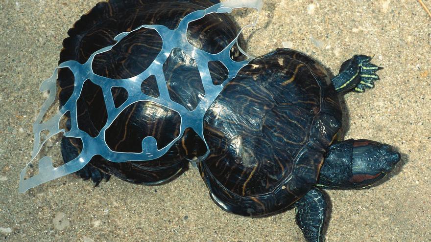 Una tortuga de Florida deformada por la malla de plástico en la que quedó atrapada