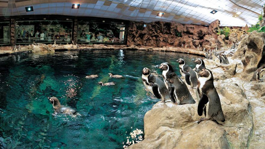 Los pingüinos son la máxima atracción de Loro Parque. LORO PARQUE