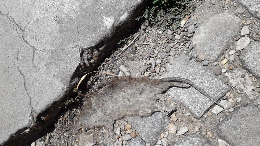 El cadáver de una rata que murió aplastada seguía siendo visible hace unos días en el patio