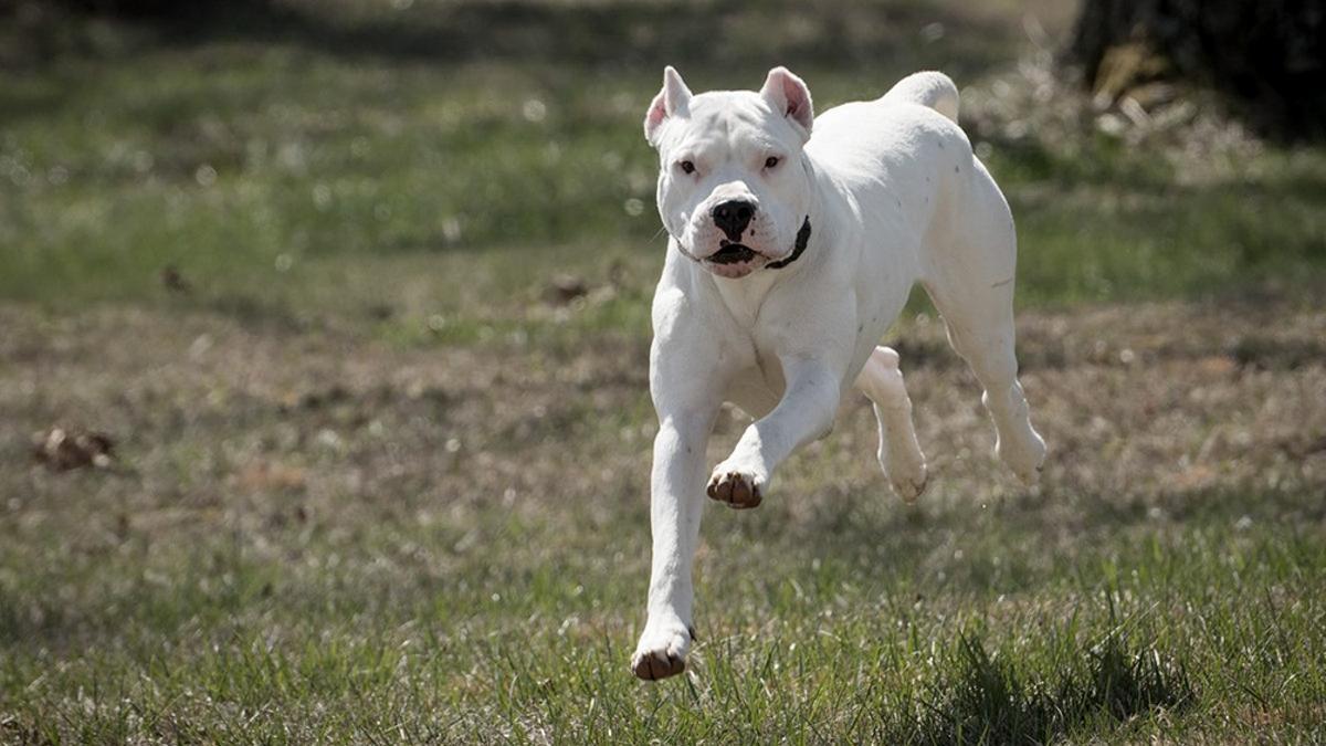 Son 17 las razas caninas comprendidas en el listado oficial que comprete a sus dueños a inscribirlos en un registro oficial y solicitar un permiso de tenencia.