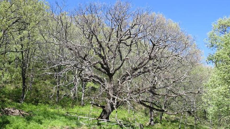 Roble Grande de la Solana en Barrado, Valle del Jerte