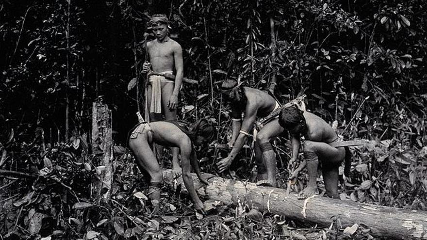 El método de extracción de la gutapercha en el siglo XIX implicaba la muerte del árbol
