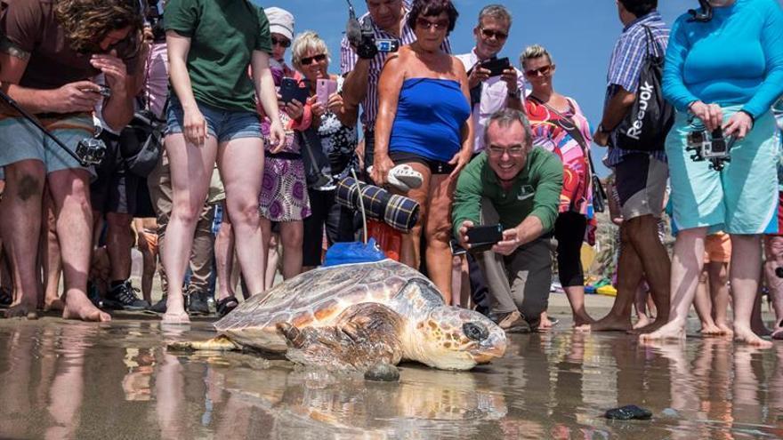 Numerosos turistas se arremolinan ante la tortuga 'Terri', que fue devuelta al mar en la Playa del Inglés