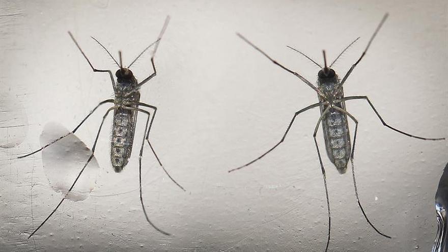 La edición genética puede controlar el mosquito del zika, según un estudio