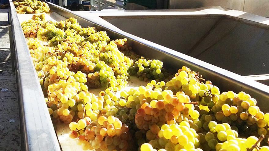 Proceso de vinificación, en una bodega radicada en Canarias
