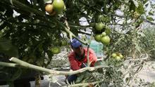 Cultivo protegido de la hortaliza tomate