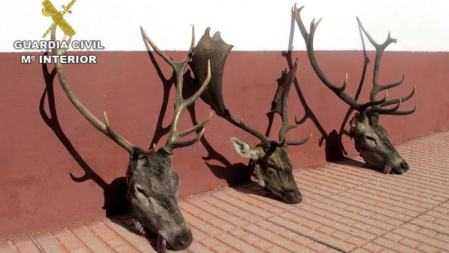 Trofeos de caza ilegal incautados en Almadén (Ciudad Real)