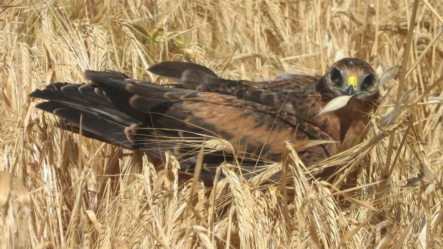 Andalucía cuenta con el mayor núcleo poblacional de aguilucho cenizo del territorio español con 693 nidos