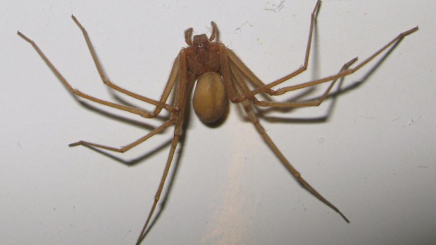 La araña Loxosceles rufescens, cuyo tamaño oscila entre uno y dos centímetros. / J. Lluch