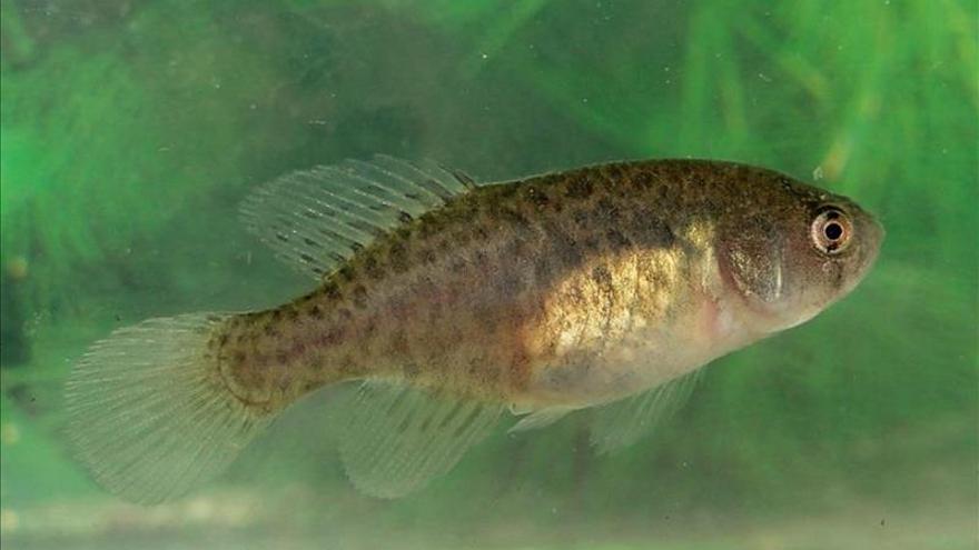 Descubren en Brasil una especie de pez cuyo ciclo de vida depende de charcos