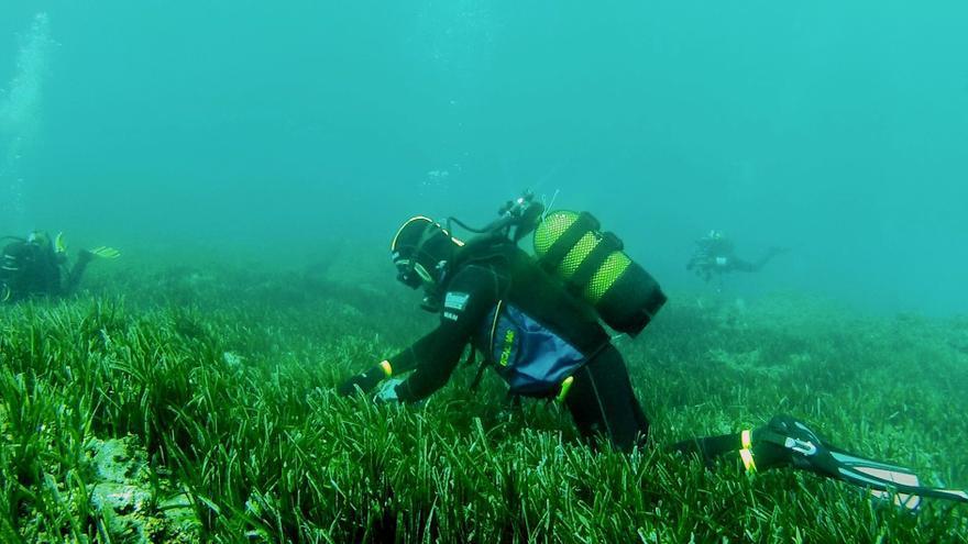 Un buceador se adentra en una pradera de posidonia en aguas andaluzas.