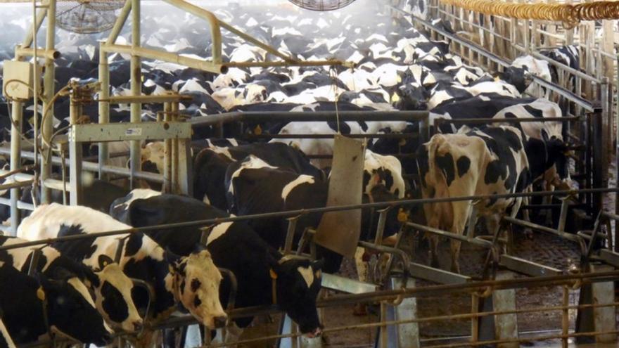 Alertan del proyecto de una macrogranja de vacuno en Almagro con 550 terneros