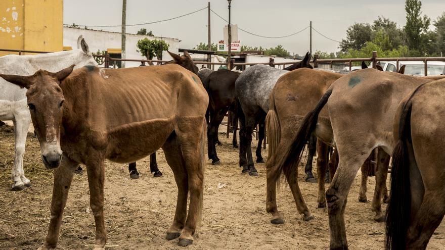 Mulas con extrema delgadez y otras marcadas en morado tras ser intervenidas en la aldea almonteña.