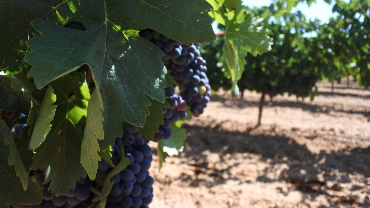 Viñas de Castilla-La Mancha