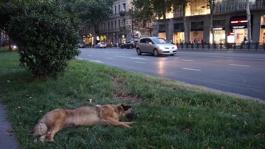 Unos 70.000 perros malviven en las calles de Tblisi, capital de Georgia. Foto: Almudena Alameda
