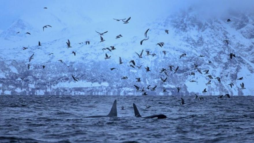 Orcas en las inmediaciones de la ciudad de Andenes. EFE